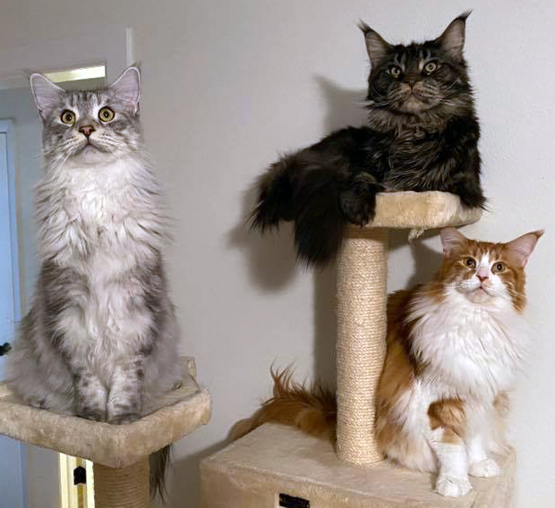 Coonplay Maine Coon Cats and Kittens of Colorado