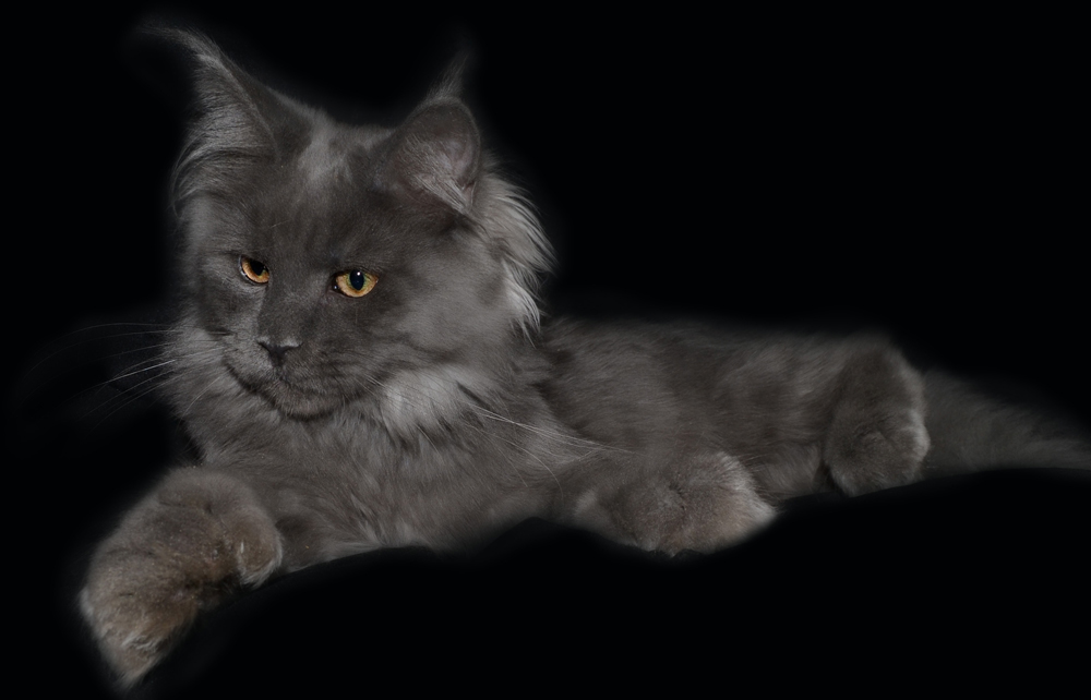 Blue Smoke Polydactyl Coonplay Maine Coon Cats and Kittens of Colorado
