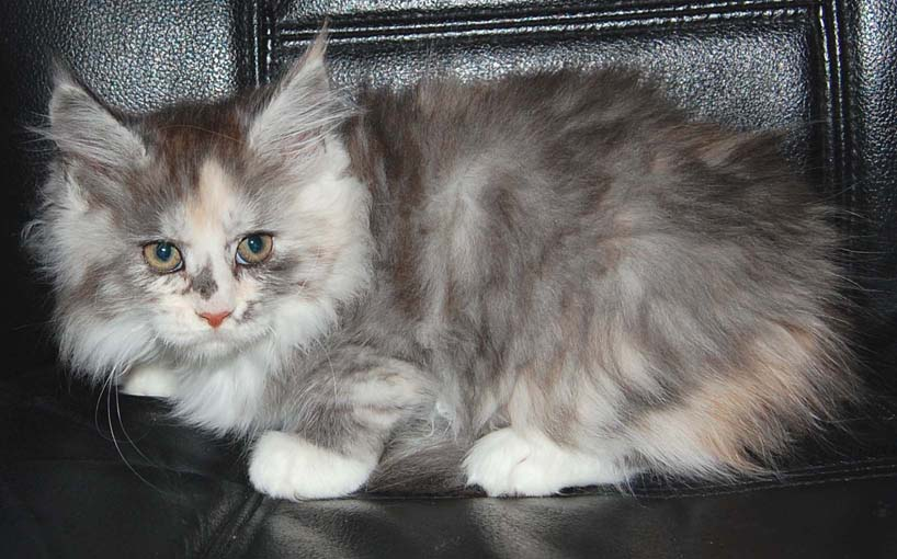 Silver Patch Mackerel Tabby with white Coonplay Maine Coon Cats and Kittens of Colorado