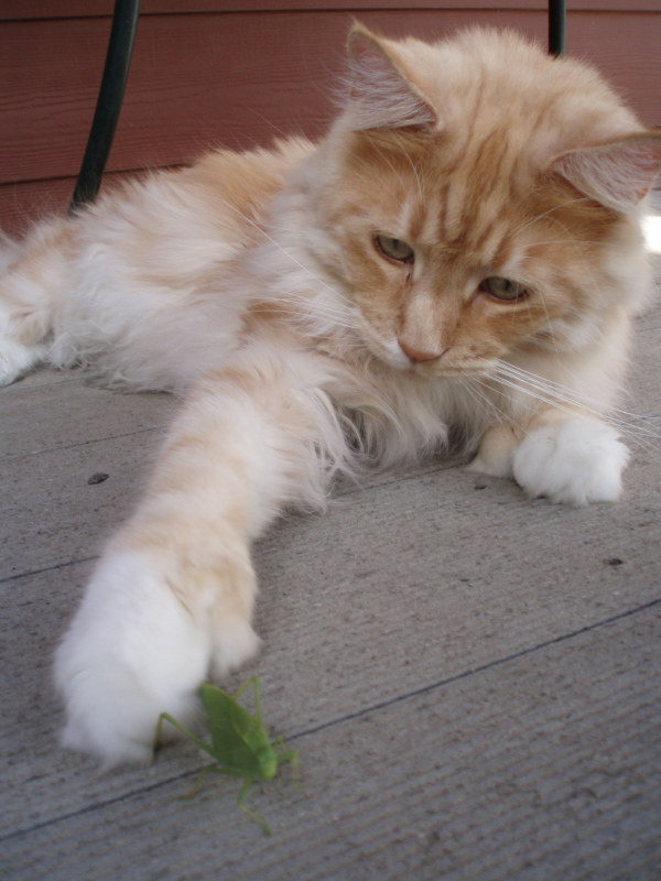 Cameo Polydactyl Coonplay Maine Coon Cats of Colorado