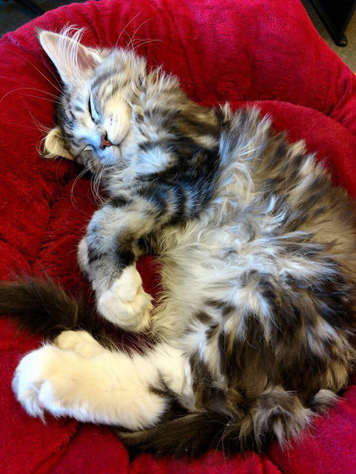 maine coon cats of colorado