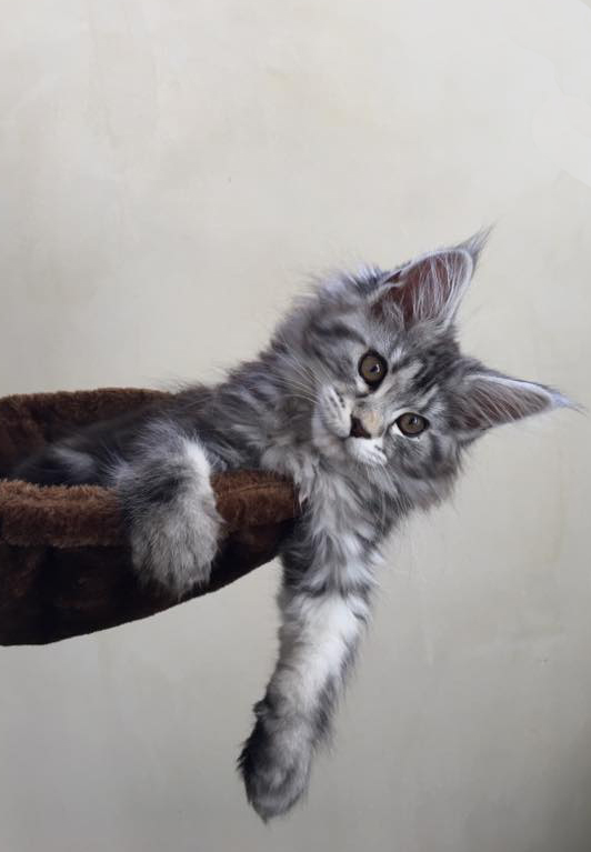 silver tabby coonplay maine coon of colorado