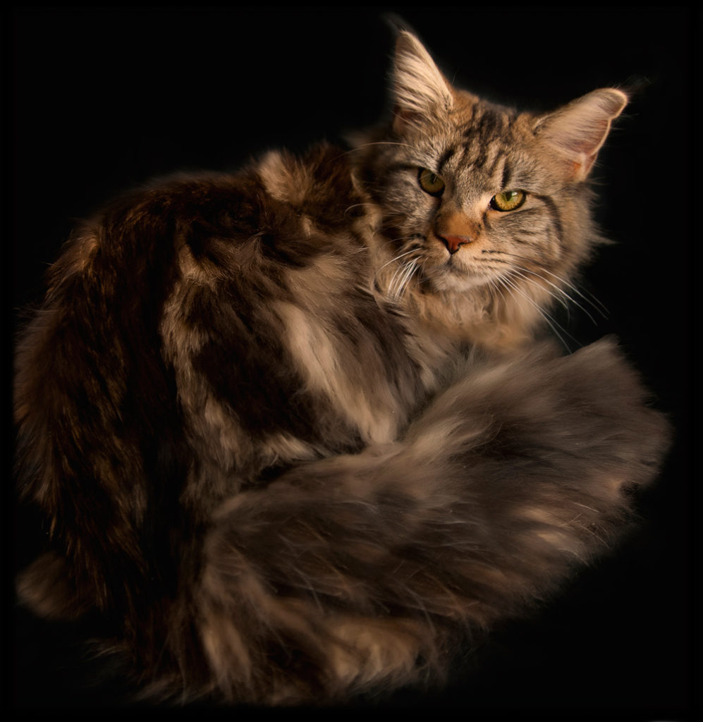 Agnes of Coonplay Maine Coon Cats and Kittens of Colorado