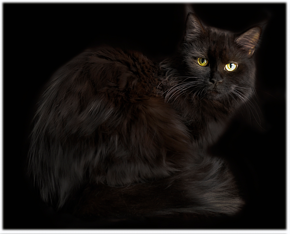 Solid Black Coonplay Maine Coon Cats and Kittens of Colorado