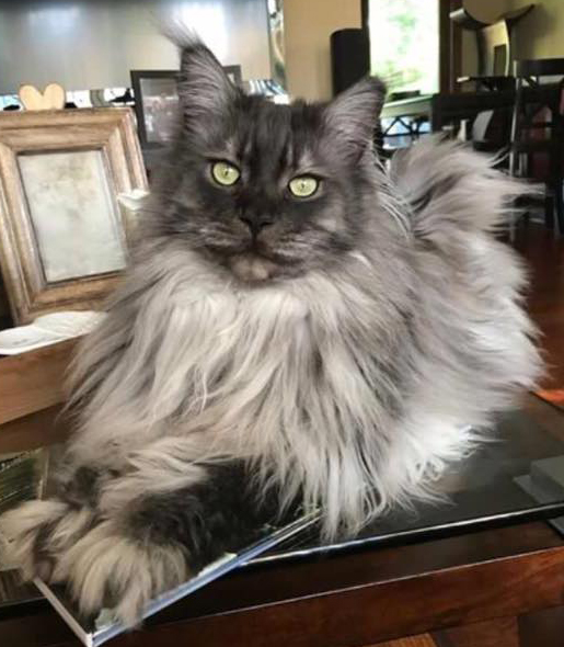 Black Smoke Coonplay Maine Coon Cats and Kittens of Colorado
