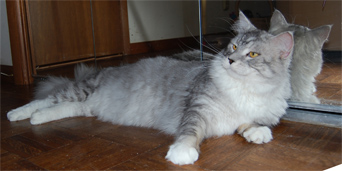 Shaded Silver Coonplay Maine Coon Cats of Colorado