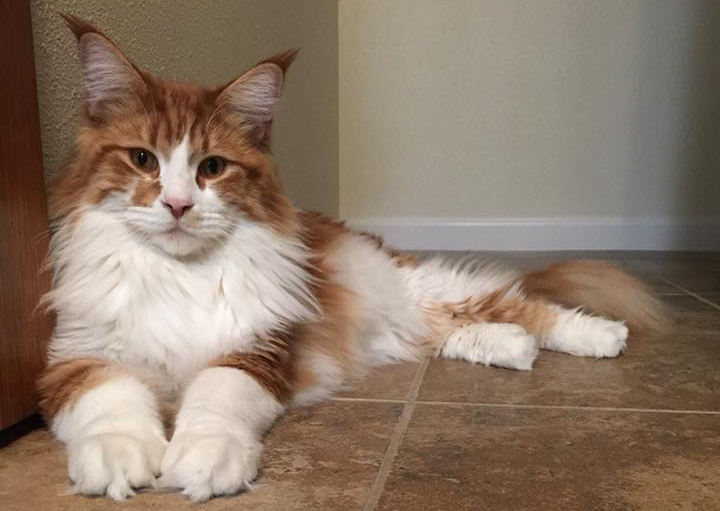Coonplay Maine Coon Cats of Colorado