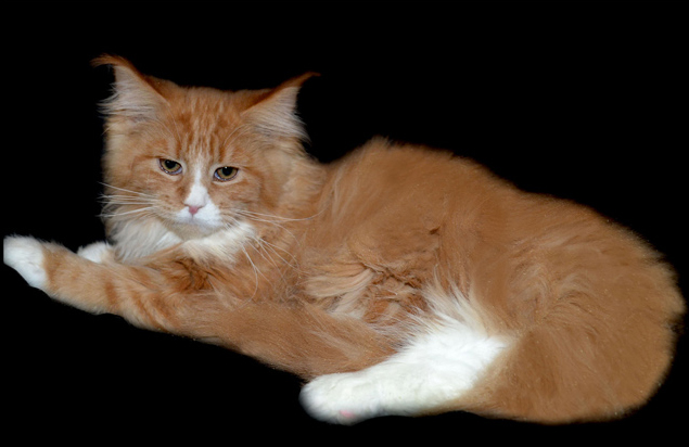 Bee Coonplay polydactyl red and white maine coon