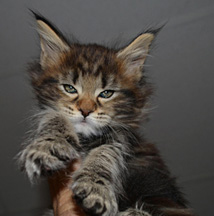 Coonplay Maine Coon Agnes as a baby