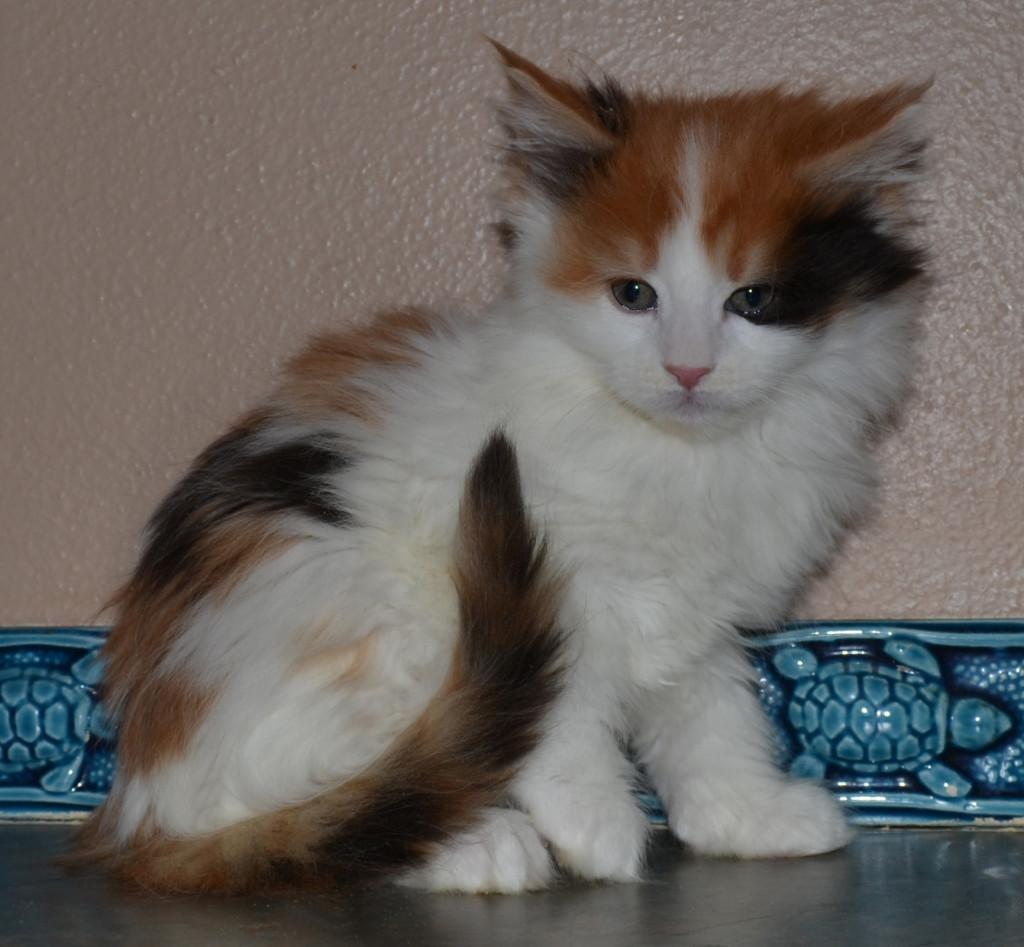 Calico Maine Coon Cat Colorado