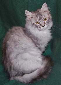 Coonplay cattery colorado beware they are the best cats ever